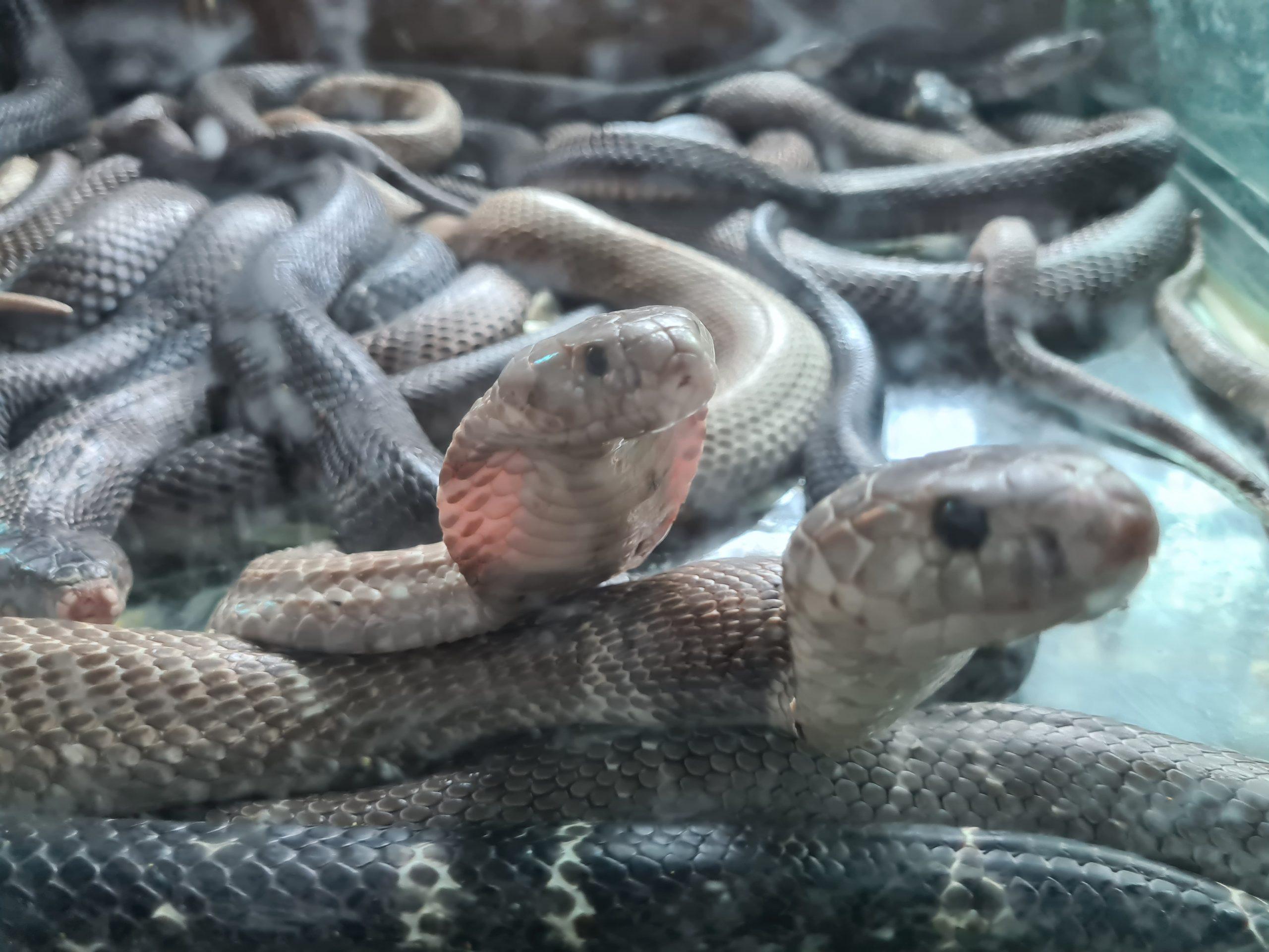 【オンライン体験ツアー】2020年7月25日催行!ハノイ発着「実食!!蛇フルコースランチ体験ツアー」