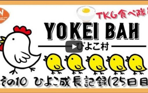 【動画】コロナに負けるな!コタキナバルより「ぴよこ村への道・その10 ヒヨコ達の成長記録(25日目)」